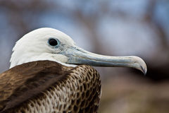 Close up shot of female frigate bird in the Stock Image