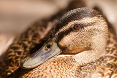 Close up shot of female mallard duck. Close up portrait of Mallard or Wild Duck, Anas platyrhynchos - shallow DOF Stock Photos