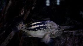 Close-up shot of fish underwater in the ocean. Exotic marine fauna.  stock video footage