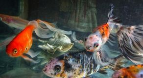 Close up shot of Fishes in an aquarium royalty free stock images