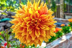 Close up shot of flamethrower dahlia with selective focus. stock image