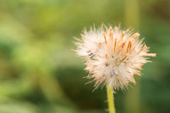 Close up shot of fluffy grass flower Royalty Free Stock Photo