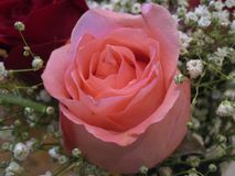 Close up shot of fresh attractive pink rose flower at the flower shop Stock Images