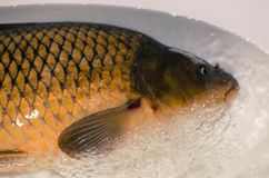 Fresh carp fish. Close up shot of Fresh carp in water Stock Image