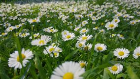 Enchanting Spring - Fresh Grass And Daisies 04. A close up shot of fresh wild grass and blooming white daisies in the enchanting spring season stock video footage