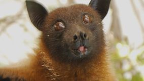 Close-up shot of fruit bat`s head hanging upside down sticking out the tongue and opening the mouth. Close-up shot of fruit bat`s head hanging upside down stock video footage