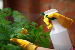 Close up shot of a gardener spraying water Stock Photography