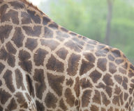 Close up shot of giraffe back Stock Photo