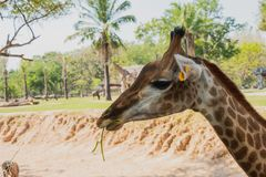 Close-up shot of the giraffe in front of trees, it`s eating some stock image