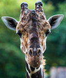 Close up shot of giraffe head. Royalty Free Stock Photography