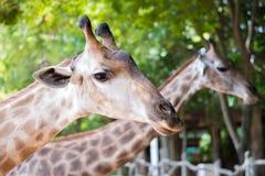 Close up shot of giraffe headIn nature Stock Images
