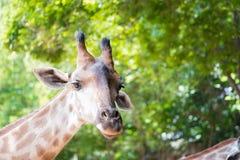 Close up shot of giraffe headIn nature Stock Photos