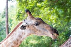 Close up shot of giraffe headIn nature Royalty Free Stock Photos