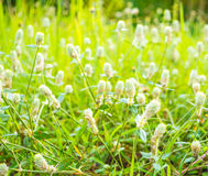 Close up shot of Globe Amaranth flower Royalty Free Stock Images