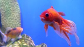 Close up shot of gold fish swimming in aquarium stock video footage