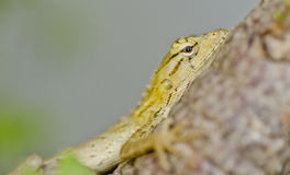 Close up shot of a golden agama in bushes Stock Image