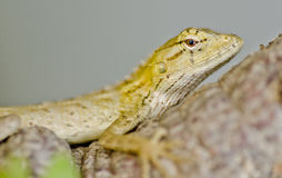 Close up shot of a golden agama in bushes Royalty Free Stock Photography