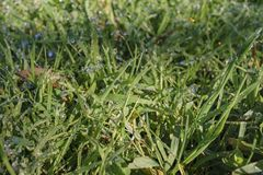 Close up shot of grass field with water drops. At Los Angeles Royalty Free Stock Photo