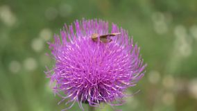 Close up shot of a grasshopper resting on a bright pink highland thistle. The flower sways slowly in the wind as the grasshopper. Remains motionless on the stock video