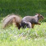 Close up of a gray squirrel with a bushy tail in the grass stock photo