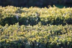 Close-up shot of green bushes Royalty Free Stock Photos