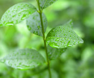 Close up shot of green city bush after rain, green background Stock Photography