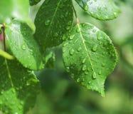 Close up shot of green city bush after rain, green background Royalty Free Stock Photo