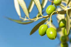Close up shot of green olives on a branch of olive tree Royalty Free Stock Image