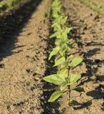 Close-up shot of green sunflower crops Stock Photos