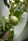 This is a close up shot of green walnut on the branch of the tree like nice nature background Stock Image
