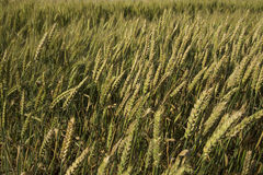 Close-up shot of green wheat plants. Royalty Free Stock Image