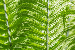 Close-up shot of green young fern leaves. Structured pattern Stock Photos