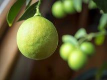 Meyer Lemons Stock Images