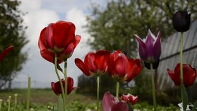 Close up shot of group of beautiful flowering red tulips in the garden in springtime. Wind blows on flowery tulip heads in spring. Time stock footage