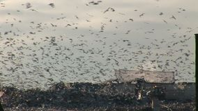 Close up shot of gulls flying over trucks at refuse dump. Gulls in tens of thousands scavenge on landfill  tip England wintertime stock footage