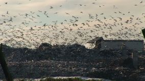 Close up shot of gulls in the sky many thousands. Gulls in tens of thousands scavenge on landfill  tip England wintertime stock video