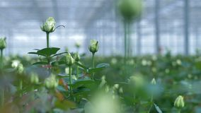 A close-up shot of half opened white rose buds in a greenhouse. 4K.