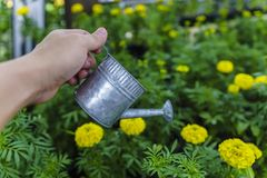 Close-up shot of a hand holding a pot to watering marigold flowe. Rs in a garden Stock Photo