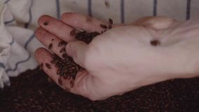 Close up shot of hands of master brewer with barley seeds. Dry malt beans ready to be used to brew the beer or the pure. Light or dark malt whiskey stock video footage