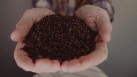 Close up shot of hands of master brewer with barley seeds. Dry malt beans ready to be used to brew the beer or the pure. Light or dark malt whiskey stock footage