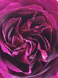 Dark, velvet obsession. Close up shot of the heart of a red rose. Its bed of petals, showing tones of dark pink and lighter shades through its circular folds to stock photo