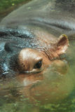 Close up shot of hippo's eye in water. Background big bright Stock Image