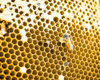 Close up shot on honey cell and bees Stock Photos