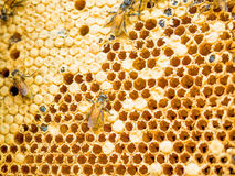 Close up shot on honey cell and bees Royalty Free Stock Image