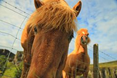 Close Up Shot of Horse Face Beside Another Horse Royalty Free Stock Photos