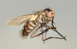 A Close Up Shot of a Horse Fly Royalty Free Stock Photo