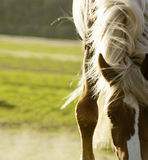 Close up shot of horse withers and mane Royalty Free Stock Photo
