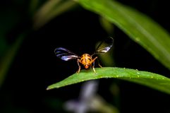 Hoverfly standing on green leaf Stock Images