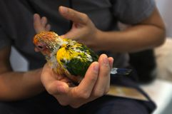 Close up shot of human hand holding beautiful green parrot chicks royalty free stock image