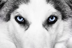 Close-up shot of husky dog Stock Images